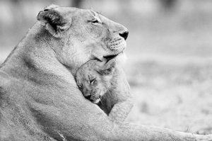 Lioness-cub's emotion of love