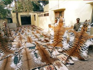 Poaching of tigers for skin